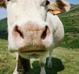 Free Photo - white cow