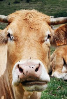 brown cow - Free Stock Photo