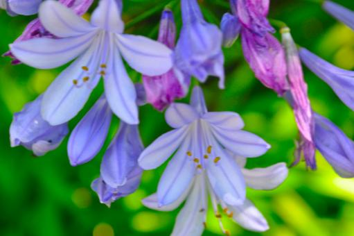 Lavender flowers - Free Stock Photo