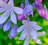 Free Photo - Lavender flowers