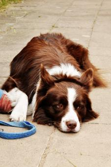 Border collie dog - Free Stock Photo