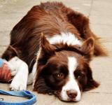 Free Photo - Border collie dog