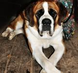 Free Photo - Saint bernard dog