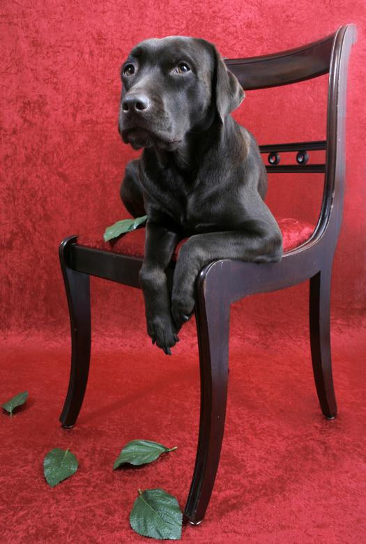 Free Stock Photo of Labrador dog on chair Created by Merelize