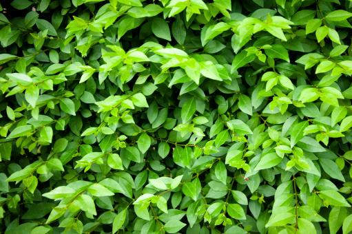 Green leaves texture - Free Stock Photo