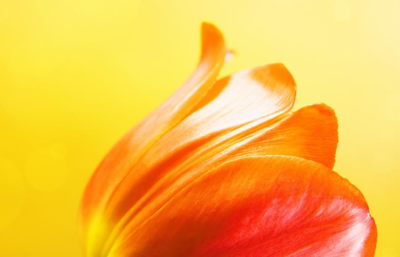 Tulip on yellow Free Stock Photo