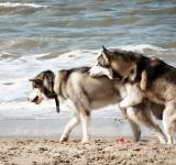 Free Photo - Siberian husky dogs mating