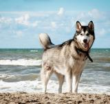 Free Photo - Siberian husky dog on beach