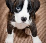 Free Photo - Cute boxer puppy