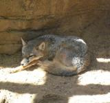 Free Photo - Desert Fox