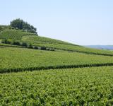 Free Photo - French vineyard