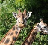 Free Photo - Giraffes