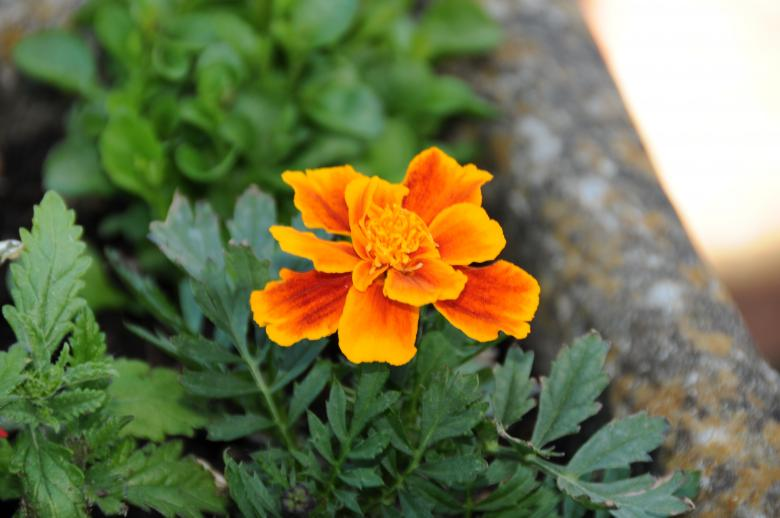 Free Stock Photo of Orange flower Created by Melissa Nicklen