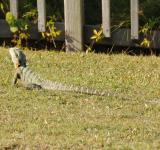 Free Photo - Frill necked lizard