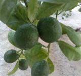 Free Photo - Lime tree