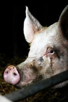 pig in farm - Free Stock Photo