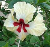 Free Photo - White Hibiscus