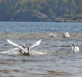 Free Photo - Swan fight