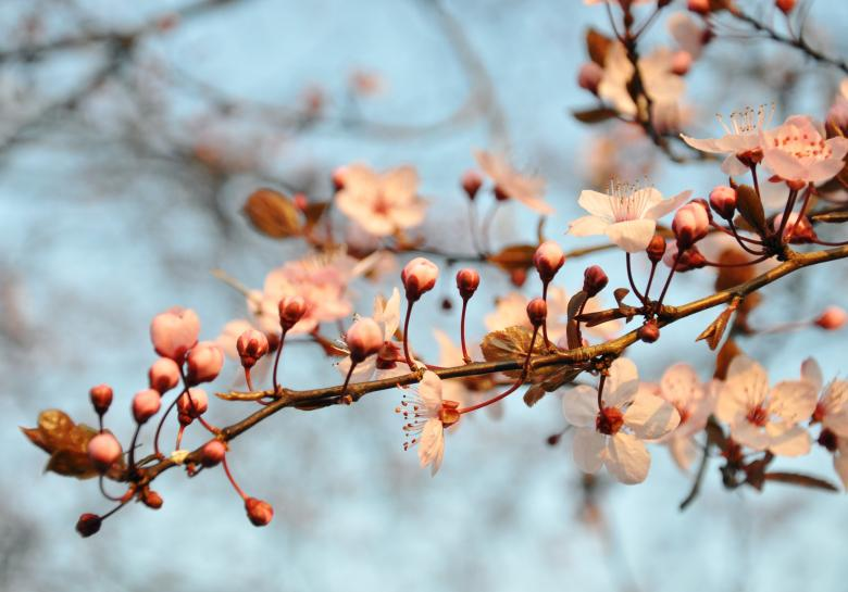 Free Stock Photo of Cherry blossom Created by Merelize