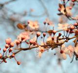 Free Photo - Cherry blossom