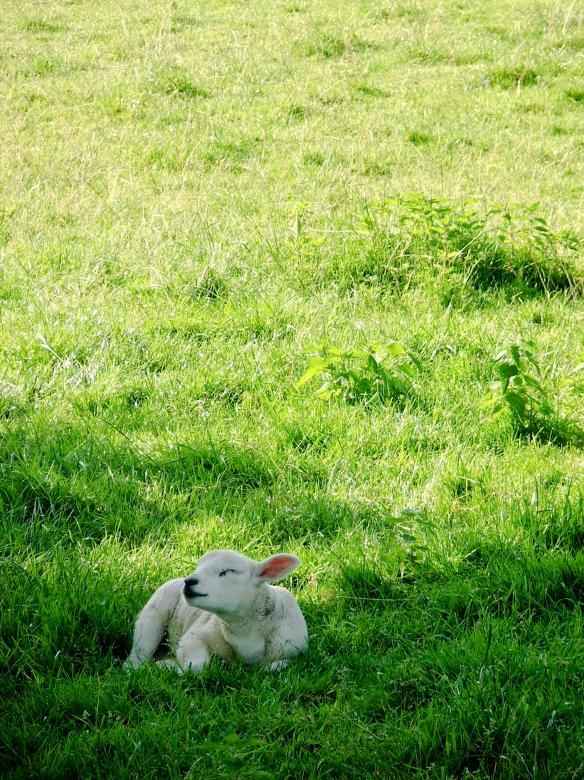 Lamb in meadow Free Stock Photo