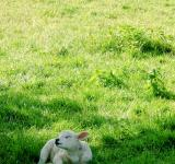 Free Photo - Lamb in meadow