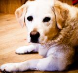 Free Photo - Blond labrador retriever dog