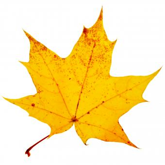 yellow leaf - Free Stock Photo