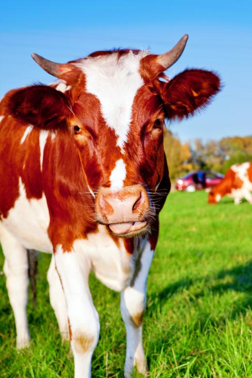 Free Stock Photo of Cow Created by 2happy