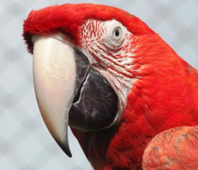 Red Macaw - Free Stock Photo