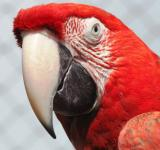Free Photo - Red Macaw