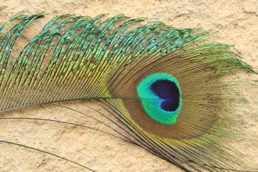 Peacock Feather - Free Stock Photo