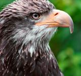 Free Photo - Eagle Profile