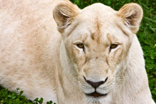 White Lioness - Free Stock Photo