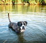 Free Photo - Dog swimming