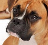 Free Photo - Boxer dog