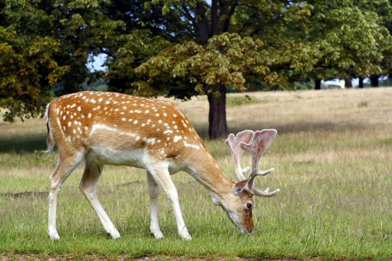 Free Stock Photo of Fallow deer Created by paul clifton