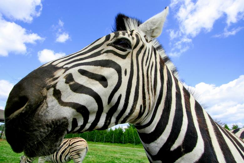 Free Stock Photo of Wide-Angle Zebra Created by Nicolas Raymond