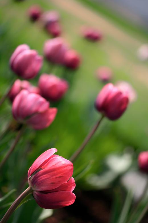 Free Stock Photo of Pink Tulips Created by Nicolas Raymond