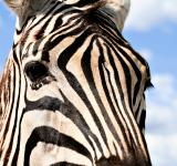 Free Photo - Zebra Profile
