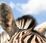 Free Photo - Zebra Ears