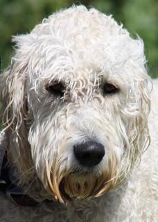 Sad Dog Free Photo