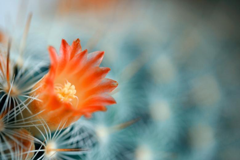 Free Stock Photo of Cactus Flower Macro