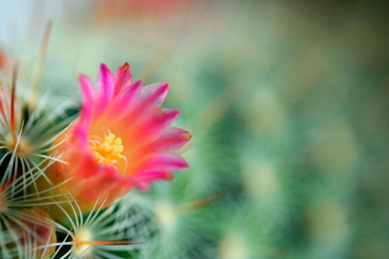 Free Stock Photo of Cactus Flower Macro Created by Nicolas Raymond