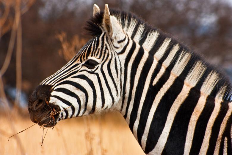 Free Stock Photo of Zebra Close-up Created by Nicolas Raymond