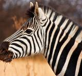 Free Photo - Zebra Close-up