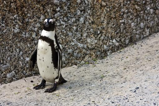 African Penguin - Free Stock Photo