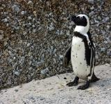 Free Photo - African Penguin