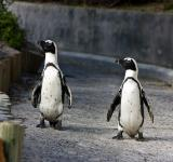Free Photo - African Penguins