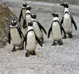 Free Photo - Penguin Posse